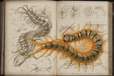 scolopendra_showcase_by_Blepharopsis